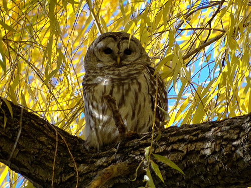 (this is a picture of the actual owl seen at Boston Common)